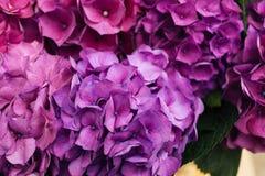 kwiatu hortensi purpury Obrazy Royalty Free