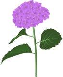 kwiatu hortensia Zdjęcia Royalty Free