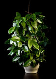 kwiatu Hoya garnek Obrazy Stock