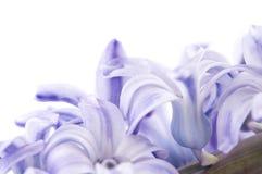 kwiatu hyacinthus Fotografia Stock
