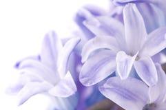 kwiatu hyacinthus Zdjęcia Stock