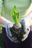 kwiatu hyacinthus flancowanie przygotowywający Zdjęcia Stock