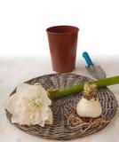 Kwiatu i żarówki bielu kopia Hippeastrum Zdjęcia Stock