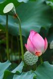 kwiatu idzie lotos Obrazy Stock