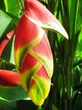 kwiatu imbir Zdjęcie Royalty Free