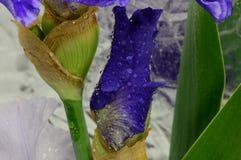 Kwiatu irys Obraz Stock