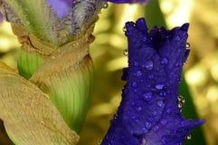 Kwiatu irys Zdjęcie Royalty Free