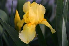 Kwiatu irys Zdjęcia Stock
