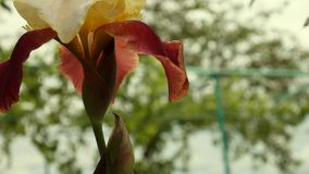kwiatu irys zdjęcie wideo