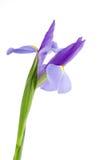 kwiatu irys obraz royalty free