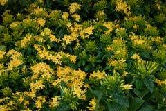 kwiatu ixora Żółty kolca kwiat Królewiątko Ixora kwitnie Ixora chinensis Rubiaceae kwiat Ixora Coccinea kwiat Obraz Stock