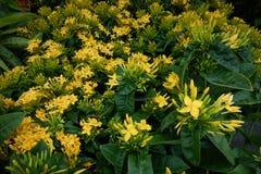 kwiatu ixora Żółty kolca kwiat Królewiątko Ixora kwitnie Ixora chinensis Rubiaceae kwiat Ixora Coccinea kwiat Obrazy Royalty Free