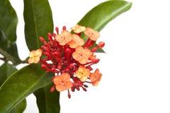 kwiatu ixora Zdjęcia Royalty Free