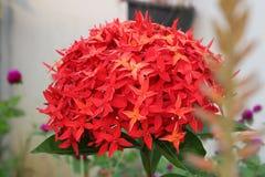 kwiatu ixora Zdjęcie Stock