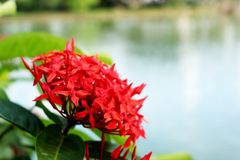 kwiatu ixora Czerwony kolca kwiat Królewiątko Ixora kwitnie Ixora chinensis Rubiaceae kwiat Ixora coccinea kwiat w ogródzie Zdjęcia Royalty Free