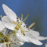 kwiatu jabłczany macro zdjęcia stock