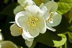 kwiatu jasmin Zdjęcie Stock
