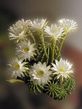 kwiatu kaktus obraz royalty free