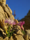 kwiatu kamień Obrazy Royalty Free