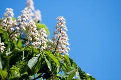 Kwiatu kasztan Fotografia Royalty Free