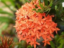 Kwiatu kolec Obraz Stock