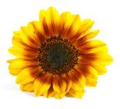 kwiatu kolor żółty Obraz Royalty Free