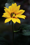 kwiatu kolor żółty Zdjęcie Stock
