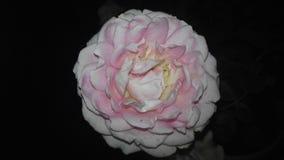 Kwiatu kolor Obrazy Royalty Free