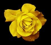 Kwiatu koloru żółtego róża na czarnym odosobnionym tle z ścinek ścieżką Żadny cienie zbliżenie Dla projekta, tekstura, granicy, r Zdjęcie Stock