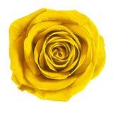 Kwiatu koloru żółtego róża odizolowywająca na białym tle Zakończenie bell świątecznej element projektu Zdjęcia Stock