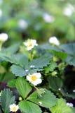 Kwiatu koloru zielonego koloru truskawkowy biały lato Zdjęcie Stock