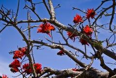 kwiatu koralowy drzewo Zdjęcie Royalty Free