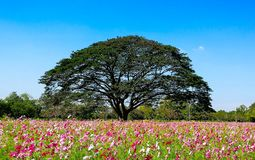Kwiatu kosmos Zdjęcia Stock
