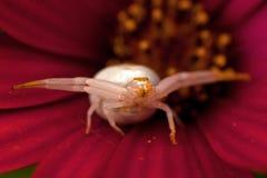 Kwiatu kraba pająk, Thomisidae Misumena vatia Zdjęcie Royalty Free