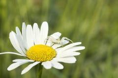 Kwiatu kraba pająk Misumena na stokrotka kwiacie Zdjęcie Royalty Free