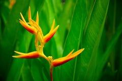 Kwiatu kraba wole Zdjęcie Stock
