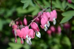 Kwiatu krwawiący serce lub złamane serce zdjęcie royalty free