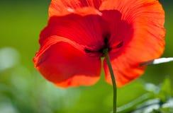 kwiatu kukurydzany maczek zdjęcie stock