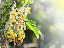Kwiatu kwiat podczas Songkran festiwalu Tajlandzcy ludzie wywoławczy Ratchaphruek lub Doku koon Biali kwiaty inny Doku koon z roz Fotografia Stock
