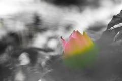 kwiatu kwitnący lotos Obrazy Royalty Free