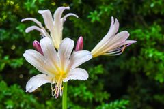 Kwiatu kwitnienie w Odwiecznie ogródzie obrazy stock