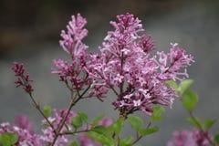 Kwiatu kwitnienie w ogródzie Zdjęcie Stock