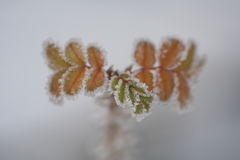 kwiatu lód Zdjęcie Royalty Free