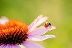 kwiatu ladybird Obraz Stock