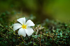 kwiatu leelawadee zdjęcia royalty free