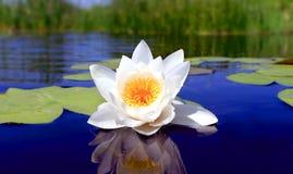 kwiatu lelui ładna woda zdjęcia stock