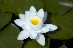 kwiatu lelui ładny bardzo wodny biel Zdjęcia Stock