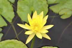 kwiatu lelui woda Zdjęcia Royalty Free