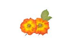 kwiatu liść prasa wzrastał Obrazy Royalty Free