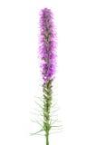 kwiatu liatris Obrazy Royalty Free